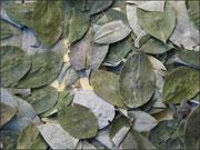 La hoja de coca es uno de los productos de cultivo más extendidos de Bolivia